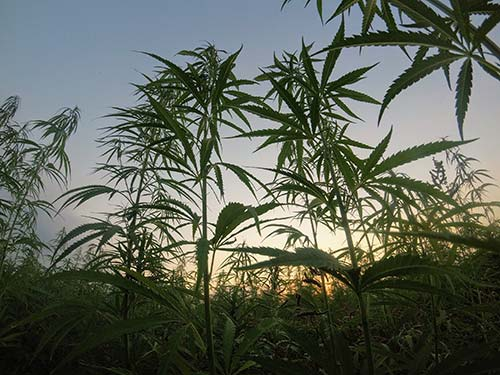 hemp cultivation license